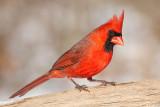 cardinal 307