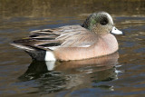 widgeon 15