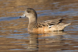 widgeon 17