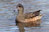 widgeon 19