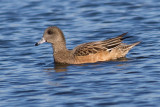 widgeon 21