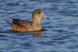 widgeon 22
