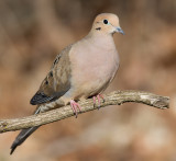 mourning dove 60