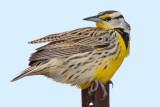eastern meadowlark 3