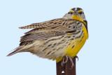 eastern meadowlark 4