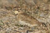 horned lark 73