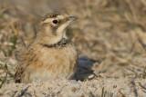 horned lark 74