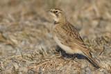 horned lark 75