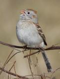 field sparrow 10