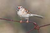 field sparrow 11