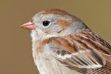 field sparrow 13