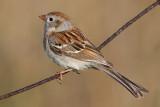 field sparrow 18