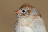 field sparrow 19