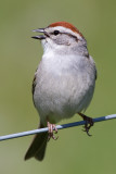 chipping sparrow 22