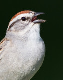 chipping sparrow 23