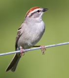 chipping sparrow 24