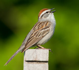 chipping sparrow 27