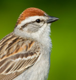 chipping sparrow 28