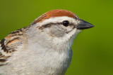 chipping sparrow 29