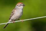 chipping sparrow 30
