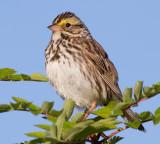 savannah sparrow 58