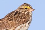 savannah sparrow 59