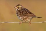 savannah sparrow 63