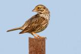 savannah sparrow 64
