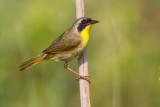 common yellowthroat 6