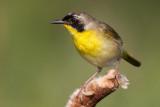 common yellowthroat 10