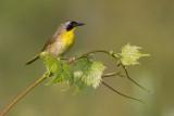 common yellowthroat 13