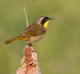 common yellowthroat 14