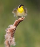 common yellowthroat 15