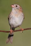 field sparrow 22