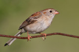 field sparrow 23