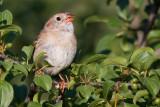 field sparrow 24