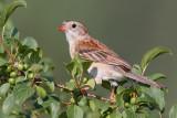field sparrow 25