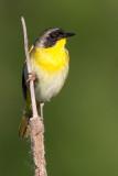 common yellowthroat 17