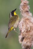 common yellowthroat 18