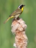 common yellowthroat 20