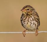 savannah sparrow juvenile 6