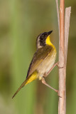 common yellowthroat 26