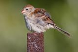 field sparrow 26