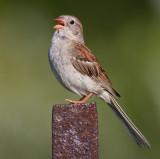 field sparrow 28