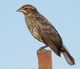 juvenile red-winged blackbird 14