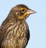 juvenile red-winged blackbird 15