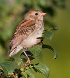 field sparrow 29