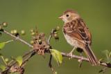 field sparrow 30