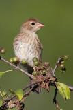 field sparrow juvenile 2