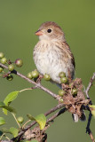 field sparrow juvenile 3